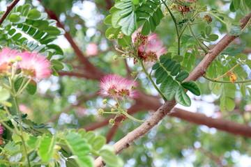 Printed roller blinds Roe Jaam ju ree flower (Thai word), Albizia lebbeck rain tree Leguminosae, Samanea saman, genus Pithecolobium (Selective focus)