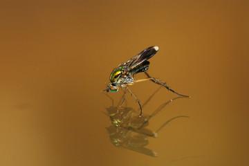 Semaphore Fly - Poecilobothrus nobilitatus