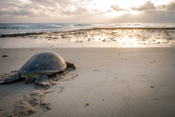 Female Green sea turtle on the beach.