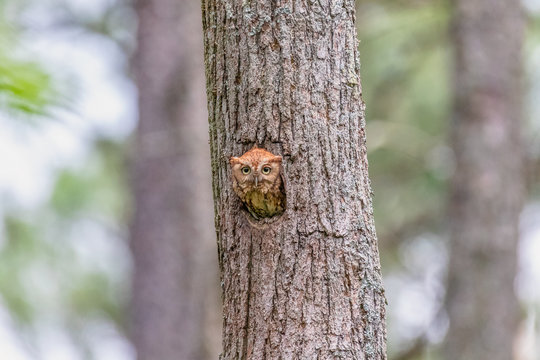 Screech owl at Blackwater Wildlife Refuge, Cambridge, Maryland