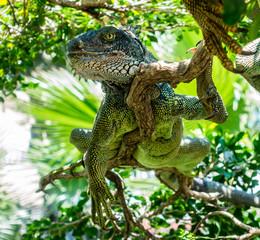 Relaxed Iguana