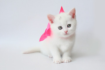 white kitten Scottish straight on white background