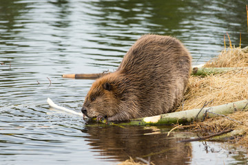 beaver eating popular branches on the ponds edge