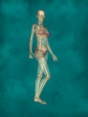 Female Skeleton, 3D Human Model
