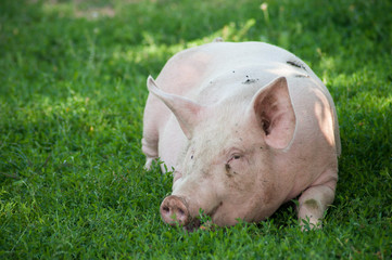 portrait of free pig in a meadow