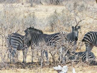 Zebra in Mapungubwe National Park, Africa