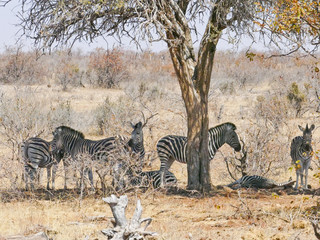 Zebra in Mapungubwe National Park, Africa