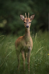 Tuinposter Ree roe deer in a field