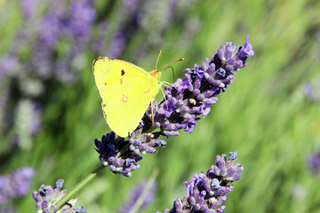 Beautifuf butterfly on lavender, Provence