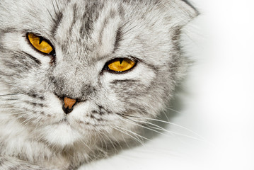 Close-up head of a gray british lop-eared cat on a white background