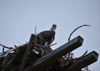 Osprey Fledgling in Nest