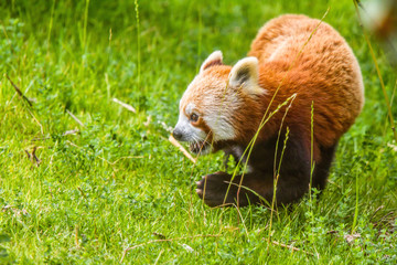 Red Panda Looking For Food