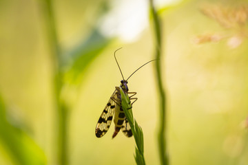 closeup of a Panorpa communis, the common scorpionfly
