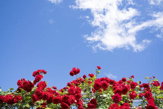 여러가지 색의 장미꽃