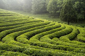 초록빛 녹차밭의 아침 풍경