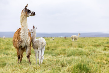 Photo sur Aluminium Lama A baby llama with it's mother in the Altiplano