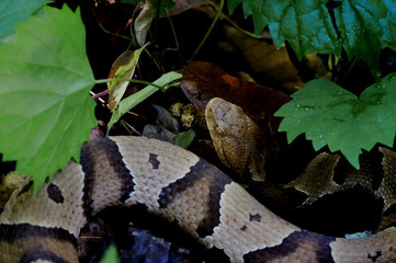 A venomous copperhead snake hides in foilage of the forest floor at Yates Mill County Park in Raleigh North Carolina