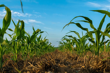 Young cornstalks of field corn growing in wheat stubble in a no till condition - North Carolina Agrigulture