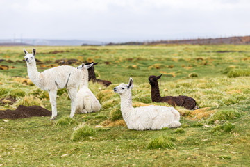 A few llamas in the Altiplano of Bolivia