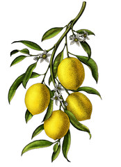 Lemon branch illustration vintage clip art isolate on white background