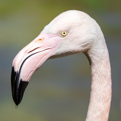 Portrait of a pink flamingo in nature