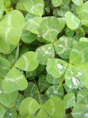 Clover leaves after rain