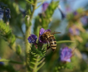 a bee on a flower gathers nectar