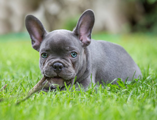 Fotorollo Französisch bulldog a portrait of a young french bulldog