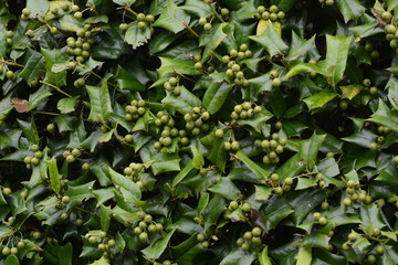 Fruits of chinese holly