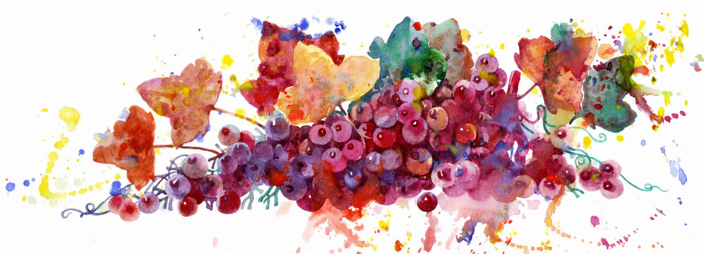 Grape vine, watercolor illustration on white background. Plant element for design and creativity. Multi-colored grapes. Pink grapes.