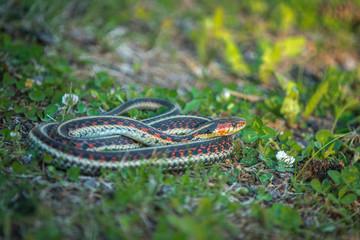 Garter Snake on Grass