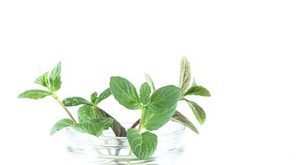 мята растение свежее лежит на белом фоне