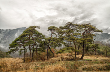 Pines on the background of foggy Korean mountains