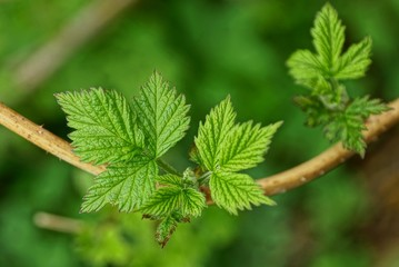green small leaves on a thin brown raspberry branch
