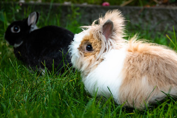 Teddy dwarf rabbit. This adult female is only one kilogram