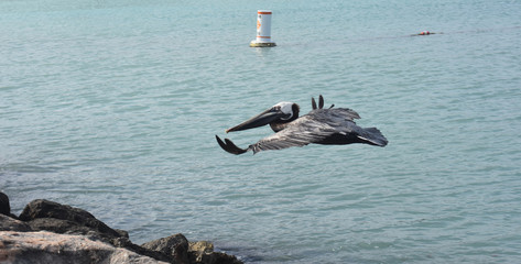 Close up photo of a water fowl flying around