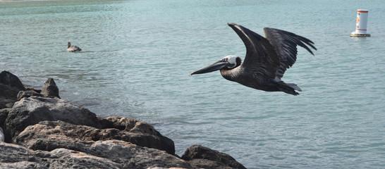 Stunning pelican in mid flight in aruba