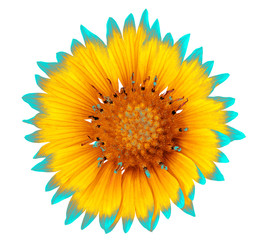 Flower yellow cyan gaillardia  isolated on a white  background. Close-up. Element of design.