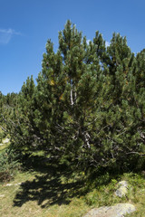 Macedonian pine (Pinus peuce) on Pirin Mountain, Bulgaria