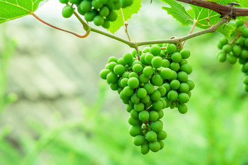 Green grape that ripens. Bunches hanging on a branch