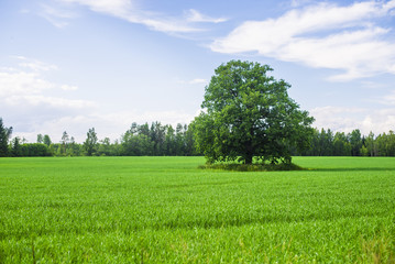 Close-up of the tree on the green country field with a forest in the background on a sunny summer day, Latvia