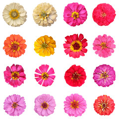 Common zinnia isolated collection set on white background