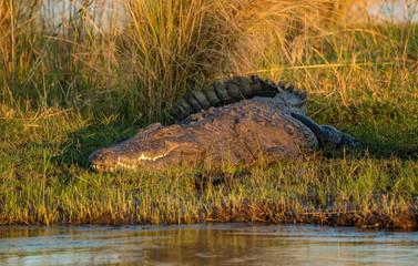 Printed roller blinds Crocodile Süsswasser-Krokodil