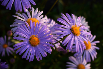 Flowering alpine aster in the garden, Summer