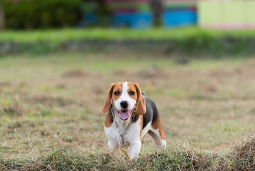 Close up of cute young Beagle playing in field