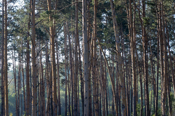 background. defocus. Pine forest in the morning