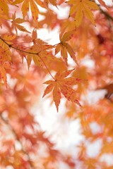 Landscape of colorful Japanese Autumn Maple leaves