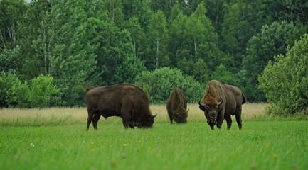 Fototapeta Three aurochs -zubr - on field in Polish region Bialowieza