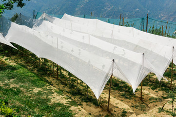 Netting tents and a nursery building to grow plants in the early stages. Shot on the grassy slopes of Shimla's hills with mountains in the distance these produce some of the best organic apples in the