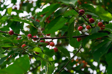 cherries on the branches of a cherry tree among green leaves